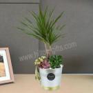 Table Plant Dracaena Magarita