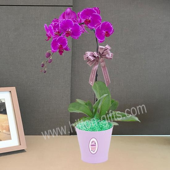 Single Purple Phalaenopsis Table Plant