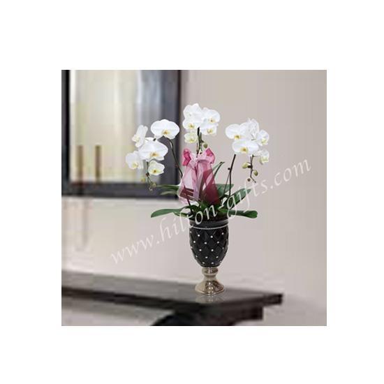Phalaenopsis white plant
