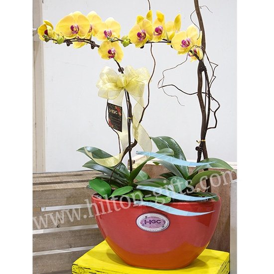 Yellow Phalaenopsis